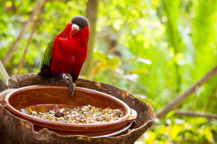 Bright parrot is feeding from bowl with seeds in Loro Park (Loro Royalty Free Stock Photos