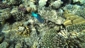 A bright parrot fish sails among the corals of the Red Sea. stock video footage