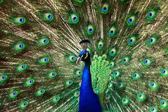 Bright peacock Royalty Free Stock Image