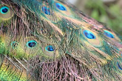 Bright Peacock feathers Royalty Free Stock Photography