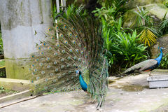 Bright peacock in nature park Royalty Free Stock Photo