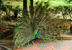 Bright peacock in nature park Stock Photo