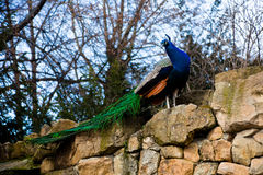 A bright peacock Royalty Free Stock Photography
