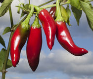Bright peppers Royalty Free Stock Photography