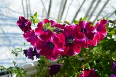 Bright petunia flowers on the background of snow outside the window. Balcony greening in march. Summer indoor and winter outdoor.  royalty free stock photos