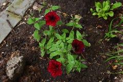 Bright petunia flowers in city yard greening. Guerrilla gardening.  Stock Image