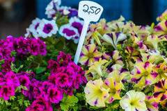 Bright petunia flowers seedlings selling outdoors Stock Photography