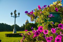 A huge vase with pink flowers in the historical center of St. Petersburg, Russia. Bright petunias grew in a vase under a cloudless northern sky royalty free stock image