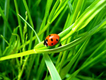 Ladybird sitting on the blade. Bright picture with a ladybird and green grass Stock Photos