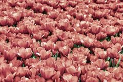 Bright picturesque blooming pink tulips, sea of flowers. Spring, summer natural background, texture, selectiv focus stock photo