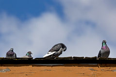 Bright Pigeons Guarding A Rooftop. A bright gang of Rock Pigeon birds (Columba livia) guarding their rooftop and preening feathers royalty free stock images