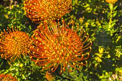 Bright pincushion protea. Orange pincushion flowering protea in Western Cape Stock Photo