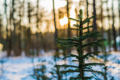 Bright pine tree on sunny winter day with nice background Royalty Free Stock Photography