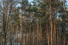 Bright pine trees on sunny winter day. Bright pine trees on sunny winter  day Stock Photography