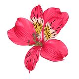 Bright pink alstroemeria with watercolor effect isolated on white background Stock Photos
