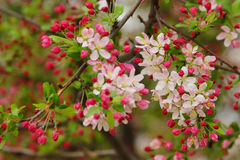 Bright pink apple tree blossom and buds Stock Images