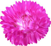 Bright pink aster flower isolated on white Royalty Free Stock Photos