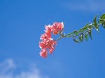 Bright pink bougainvillea Stock Image