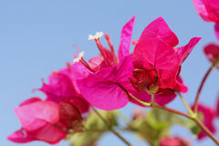 Bright Pink Bougainvillea. Against the blue sky Stock Images