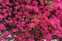 Bright Pink Bougainvillea Stock Photography