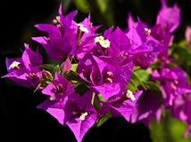 Bright Pink Bougainvillea Flower Stock Photos