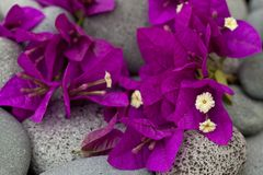 Bright Pink Bougainvillea Flowers royalty free stock image