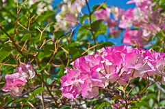 Bright Pink Bougainvillea Flowers Stock Image