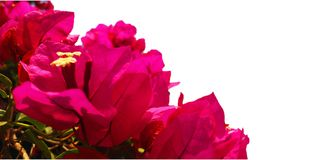 Bright Pink Bougainvillea Flowers on a white background royalty free stock photography