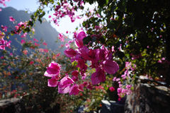 Bright pink Bougainvillea plant flowers - tropcal paradise on Te Stock Photos