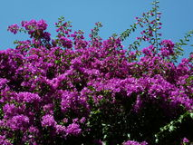 Bright pink Bouganvillea spectabilis Stock Photo