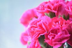 Bright Pink Carnations Royalty Free Stock Images