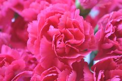 Bright Pink Carnations Stock Image