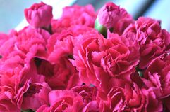 Bright Pink Carnations Royalty Free Stock Image