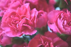 Bright Pink Carnations Stock Images