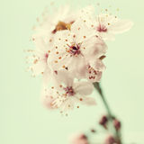 Bright pink cherry blossoms Royalty Free Stock Images