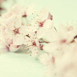 Bright pink cherry blossoms Royalty Free Stock Photography