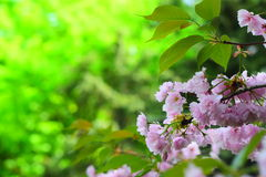 Bright pink cherry blossoms Stock Photography