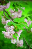 Bright pink cherry blossoms. Perfectly bright pink cherry blossom and the green background Stock Images