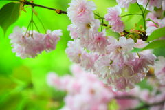 Bright pink cherry blossoms Royalty Free Stock Photos