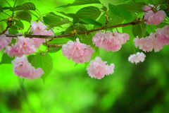 Bright pink cherry blossoms. Perfectly bright pink cherry blossom and the green background Stock Photo