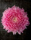 Bright Pink Chrysanthemum Stock Photo