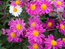 Bright pink chrysanthemums are blooming royalty free stock photos