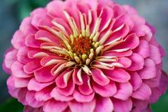 Bright Pink Royalty Free Stock Photos