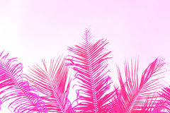 Bright pink coco palm tree leaf on sky background. Palm pink toned photo. Royalty Free Stock Images
