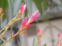 Bright pink color Nerium oleander flower buds. Close up of pink color Nerium oleander flower buds stock photography