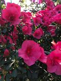 Bright pink colored azalea royalty free stock images