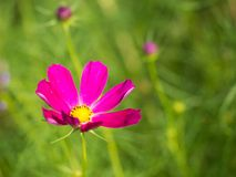 Bright pink cosmo flower stock photos