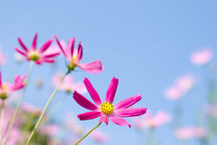 Bright pink cosmos Stock Photos