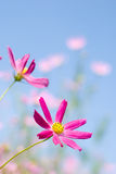 Bright pink cosmos Stock Photo