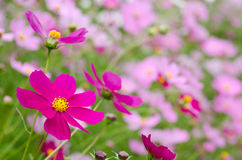Bright pink cosmos Royalty Free Stock Photography